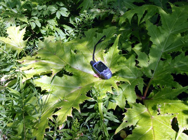 Giant hogweed leaf with GPS unit to show scale