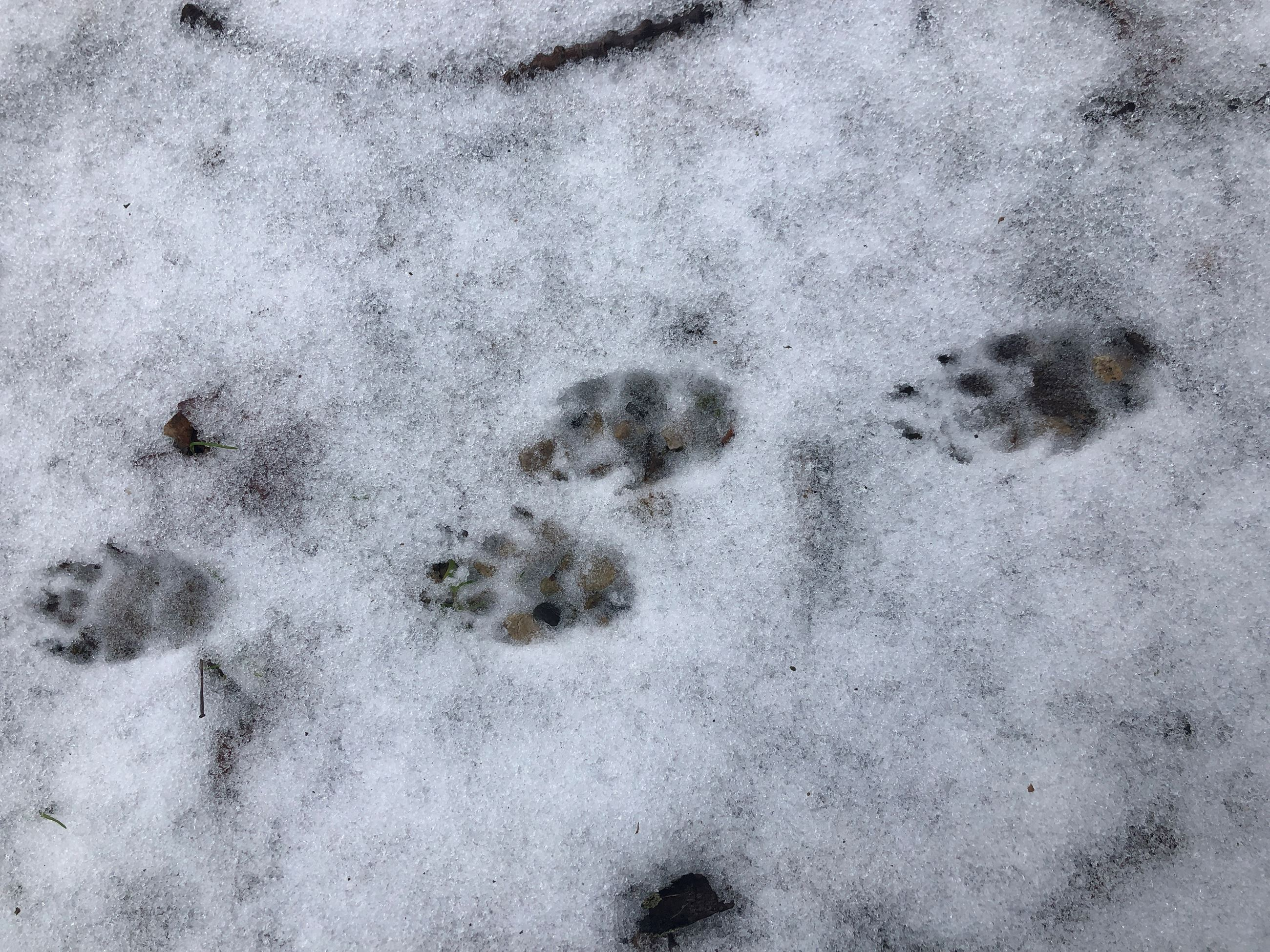 Some animal tracks in the snow.