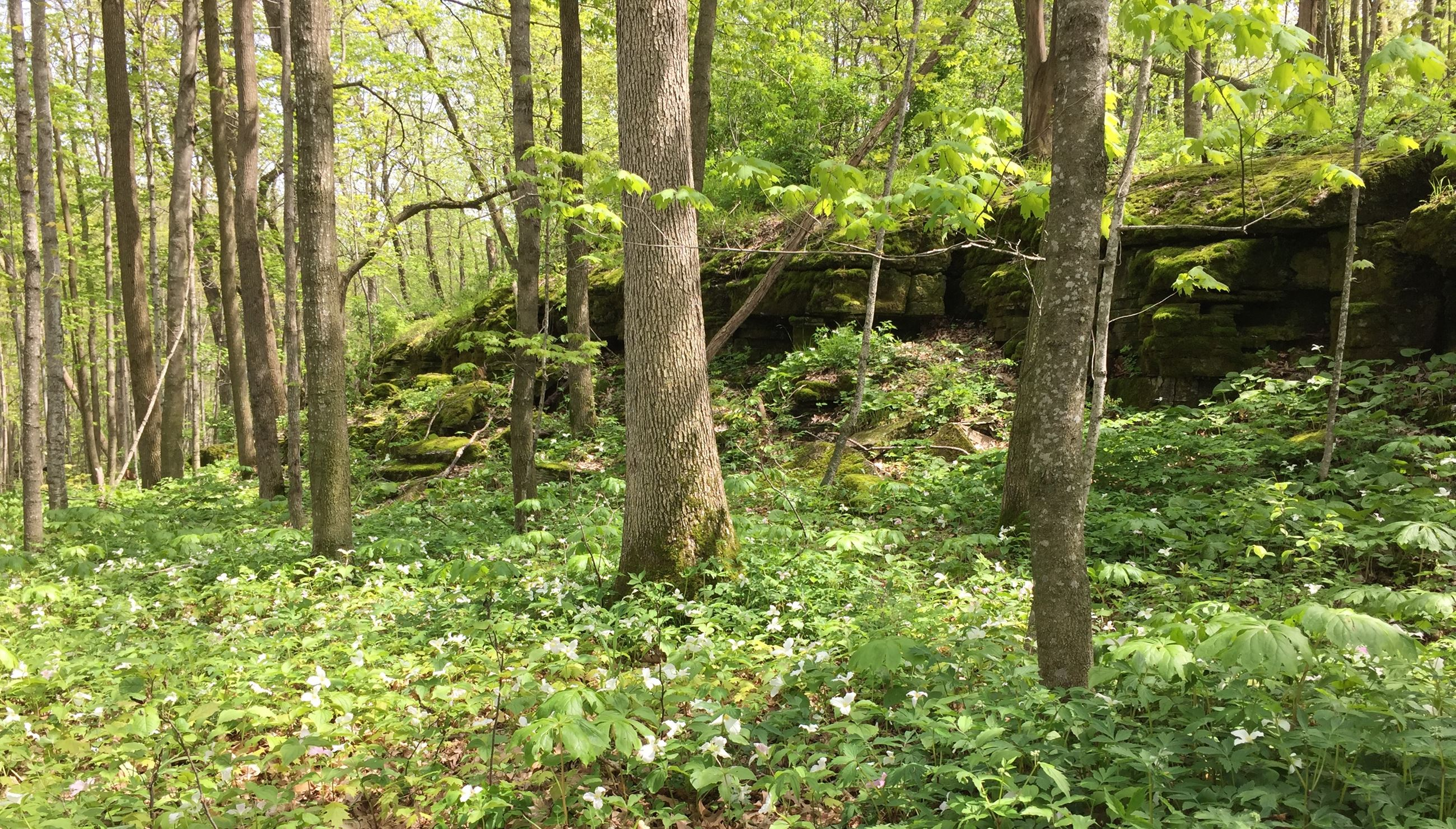 A woodland in spring with lots of white wildflowers. There is a rock ledge through the middle of the