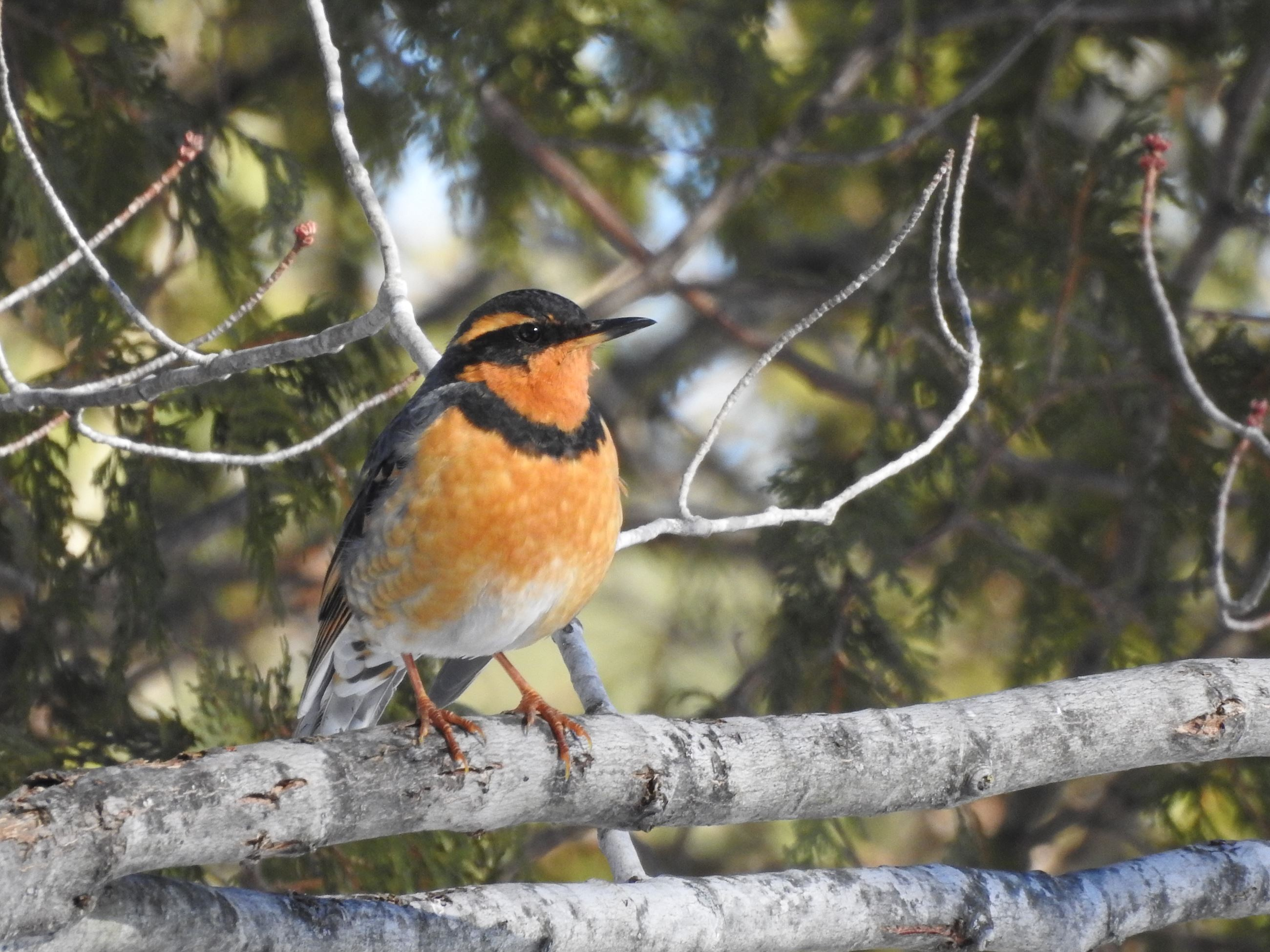 An orange and black Varied Thrush bird
