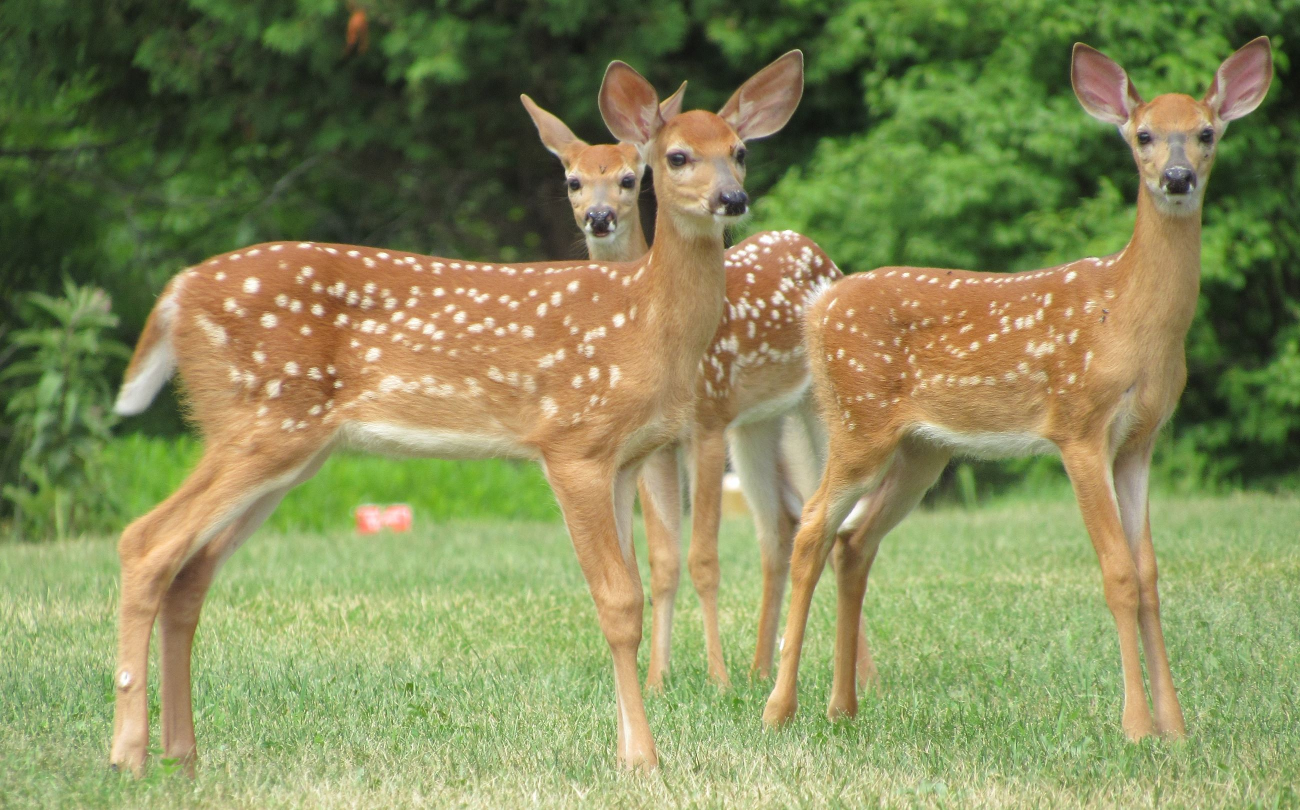 Three spotted fawns standing in a field